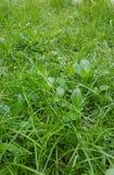 Fine del dettaglio del prato inglese dell'erba verde su immagini stock libere da diritti