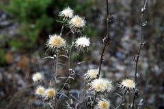 Fine del dettaglio su di vecchie foglie marroni e asciutte arrugginite di autunno, appendenti sui rami un giorno nuvoloso di autu fotografia stock