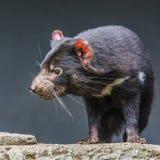 Fine del diavolo tasmaniano su immagini stock libere da diritti