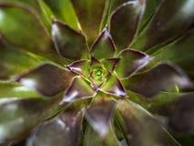 Fine del fiore del cactus su Immagini Stock