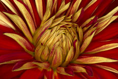 Fine del fiore del crisantemo su, fondo astratto Immagini Stock Libere da Diritti