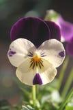 Fine del fiore del Pansy in su fotografia stock