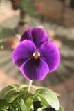Fine del fiore del Pansy in su Immagini Stock Libere da Diritti