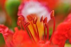 Fiore dell'albero di fiamma Immagini Stock