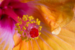Fine del fiore dell'ibisco su Fotografie Stock Libere da Diritti