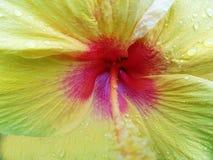 Fine del fiore dell'ibisco sul colpo fotografie stock