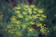 Fine del fiore dell'ombrello dell'aneto su Fotografia Stock