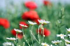 Fine del fiore della camomilla su Fotografia Stock