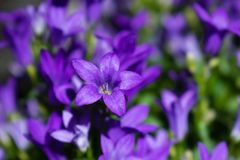 Fine del fiore del fiore della campanula su Bellflower porpora in giardino fotografia stock