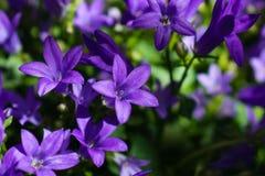 Fine del fiore del fiore della campanula su Bellflower porpora in giardino fotografie stock