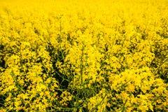 Fine del fiore della colza su Comcept di agricoltura Piante di zona rurale fotografie stock