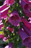 Fine del fiore della digitale su Fiore alto rosa porpora della digitale immagini stock