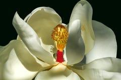 Fine del fiore della magnolia su Fotografie Stock