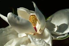 Fine del fiore della magnolia su Immagini Stock Libere da Diritti