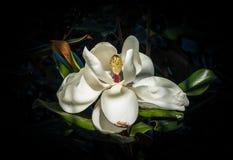 Fine del fiore della magnolia su Fotografia Stock Libera da Diritti