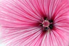 Fine del fiore della malva su Immagini Stock