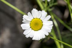 Fine del fiore della margherita bianca su Fotografia Stock Libera da Diritti