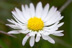 Fine del fiore della margherita in su Fotografie Stock