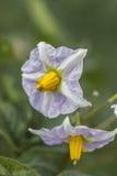 Fine del fiore della patata sul cespuglio verde 2 Immagine Stock