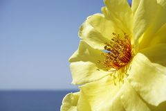 Fine del fiore della rosa di giallo sulla vista sul colore blu di contrasto del mare e del cielo Fotografia Stock Libera da Diritti