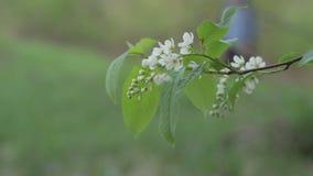 Fine del fiore della Uccello-ciliegia su stock footage