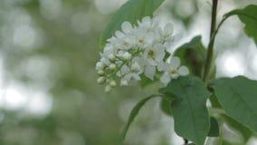 Fine del fiore della Uccello-ciliegia su archivi video