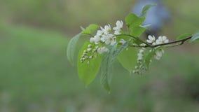Fine del fiore della Uccello-ciliegia su video d archivio