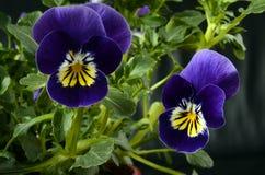 Fine del fiore della viola su Fotografia Stock Libera da Diritti