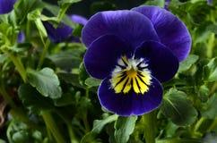 Fine del fiore della viola su Fotografia Stock