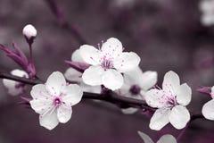 Fine del fiore di ciliegia in su Immagini Stock Libere da Diritti