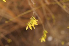 Fine del fiore di forsythia su Bell dorata, intermedia di forsythia x, europaea che fiorisce nel cespuglio del giardino di primav Fotografia Stock