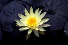Fine del fiore di Lotus su Fotografie Stock Libere da Diritti