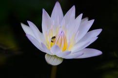 Fine del fiore di Lotus su Fotografia Stock Libera da Diritti