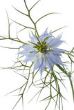 Fine del fiore di Nigella in su Immagine Stock