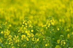Fine del fiore di Rapseed del seme oleifero su nel campo agricolo coltivato Immagine Stock Libera da Diritti