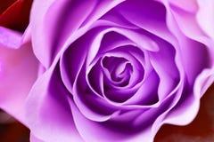 Fine del fiore di Rosa su immagini stock libere da diritti