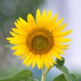 Fine del fiore di Sun su contro un fondo vago Immagini Stock