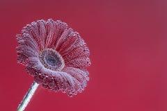 Fine del fiore del Gerbera in su Priorità bassa floreale Fotografie Stock