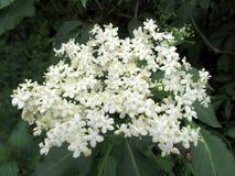 Fine del fiore del nigra di Sambuctus su, l'altra bacca di sambuco di nome, anziano nero, anziano europeo Arbusto utilizzato in e immagine stock libera da diritti