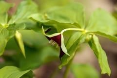 Fine del fiore selvaggio di tempo di primavera su fotografia stock libera da diritti
