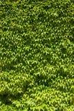 Fine del fondo dell'edera su Fotografie Stock