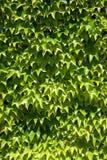 Fine del fondo dell'edera su Immagine Stock