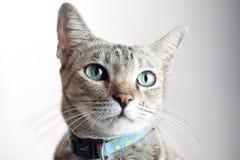 Fine del fronte del gatto su Fotografie Stock Libere da Diritti