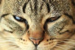 Fine del fronte del gatto sull'immagine Fotografia Stock Libera da Diritti