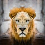 Fine del fronte del leone su immagine stock