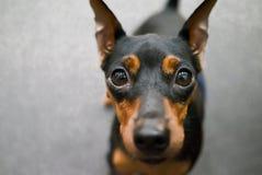 Fine del fronte del ritratto del cane di Zwergpinscher su Fotografia Stock