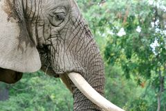 Fine del fronte dell'elefante in su Fotografie Stock Libere da Diritti