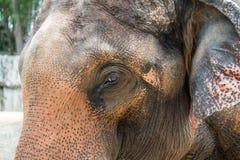 Fine del fronte dell'elefante in su Fotografie Stock