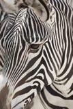 Fine del fronte della zebra del Grevy in su Fotografie Stock Libere da Diritti
