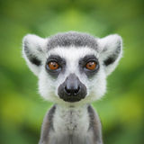 Fine del fronte delle lemure su Fotografia Stock Libera da Diritti